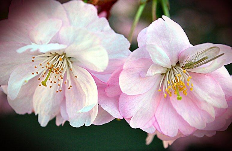 kryp på körsbärsblom